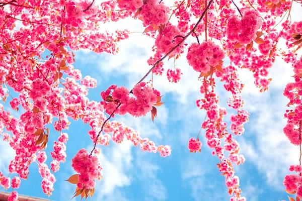 桜の色や香りを楽しむ「モナン社」のフレーバー